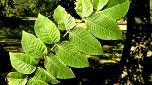 Loài cây 'thần thánh' chữa đại tràng 100 người 99 người khen